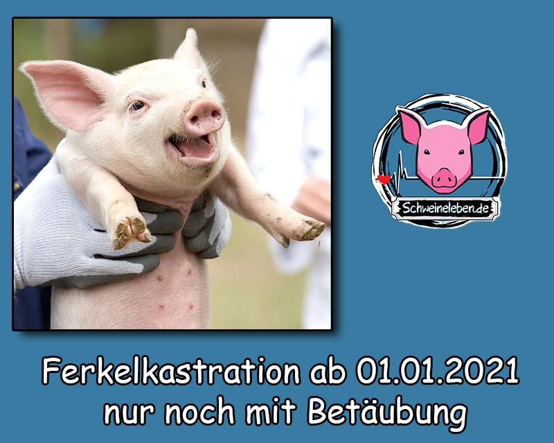 Schweinehaltung: Kastration von Ferkeln ab 2021