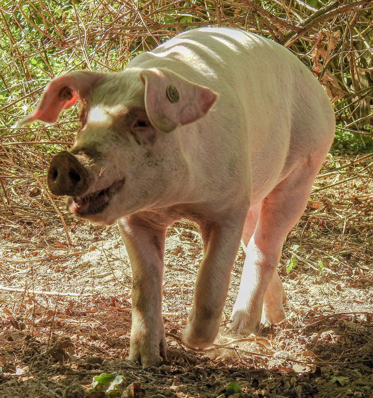 (Ein) Schweineleben