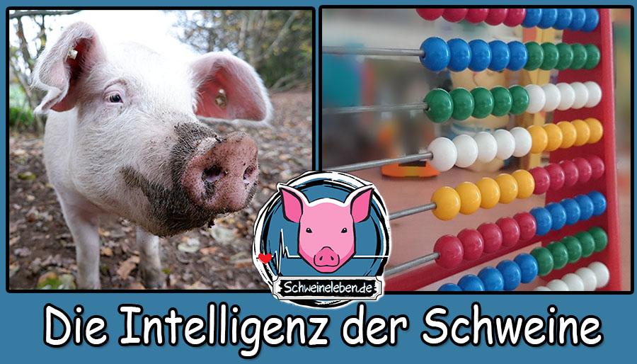 Die Intelligenz der Schweine