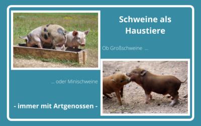 Schweine als Haustiere – Überlegungen vor der Anschaffung