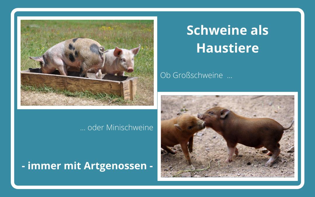 Schweine als Haustiere - Vor der Anschaffung