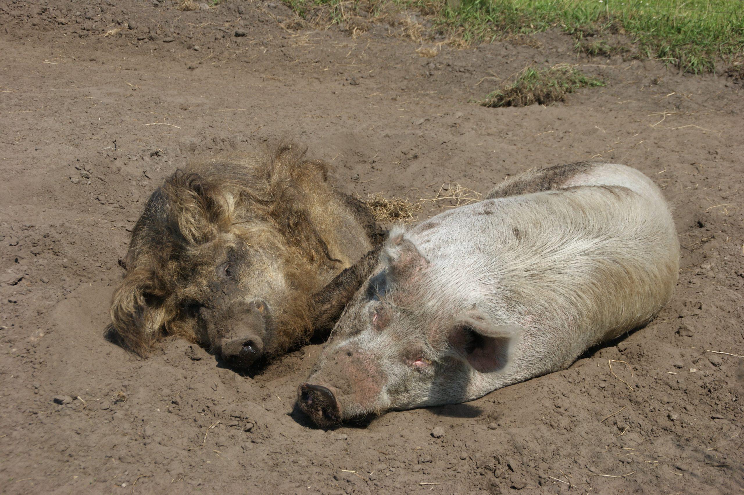 Großschwein und Wollschwein