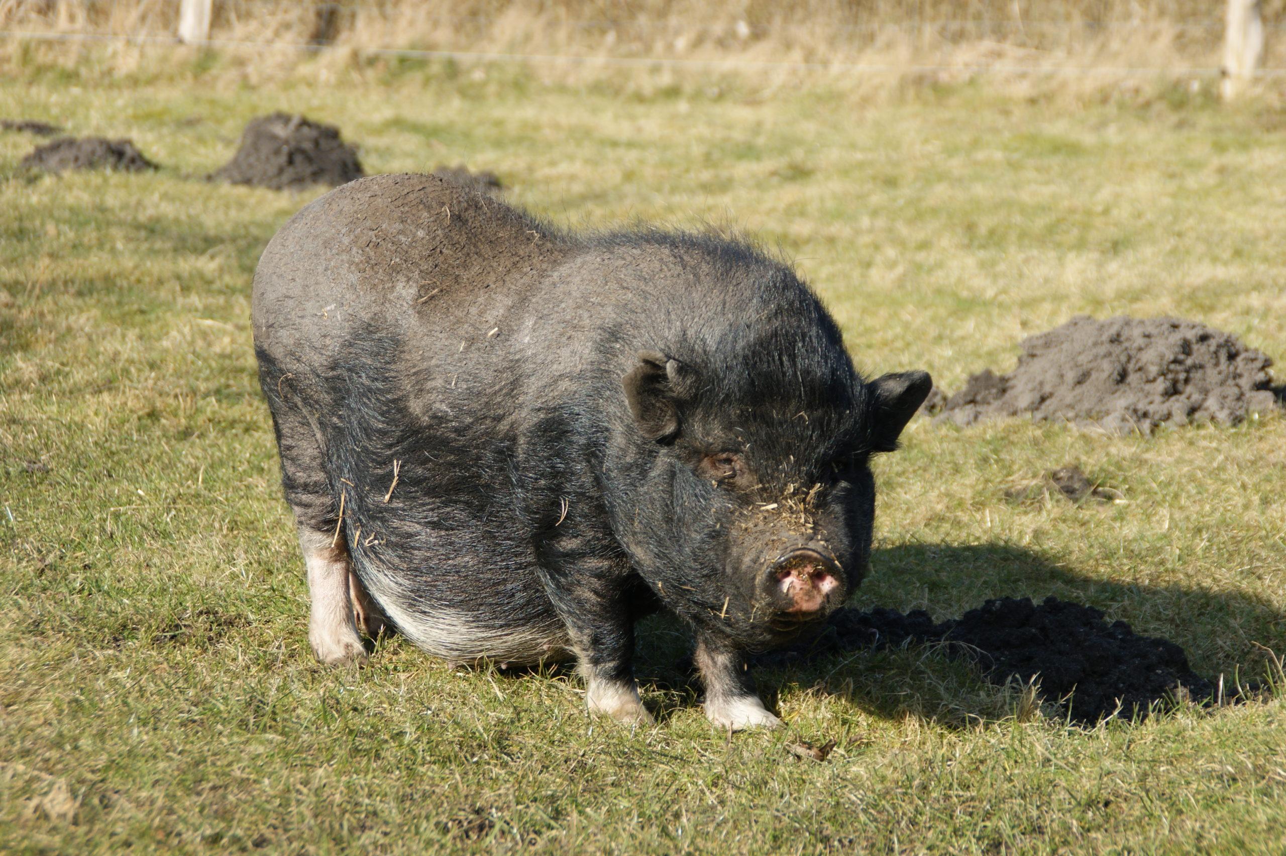 Minischwein Castor