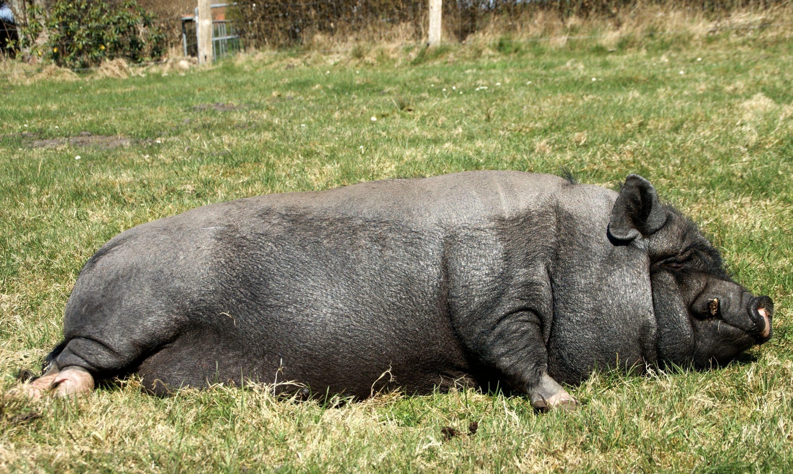 Minischwein liegend