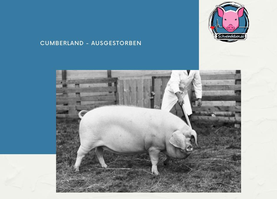 Schweinerassen der Welt – Cumberland