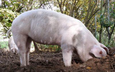 Schweinerassen der Welt – Landrassen