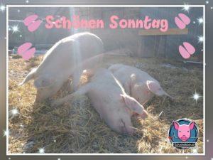 Schweine Grüße