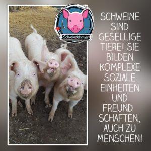 Schweine sind gesellig
