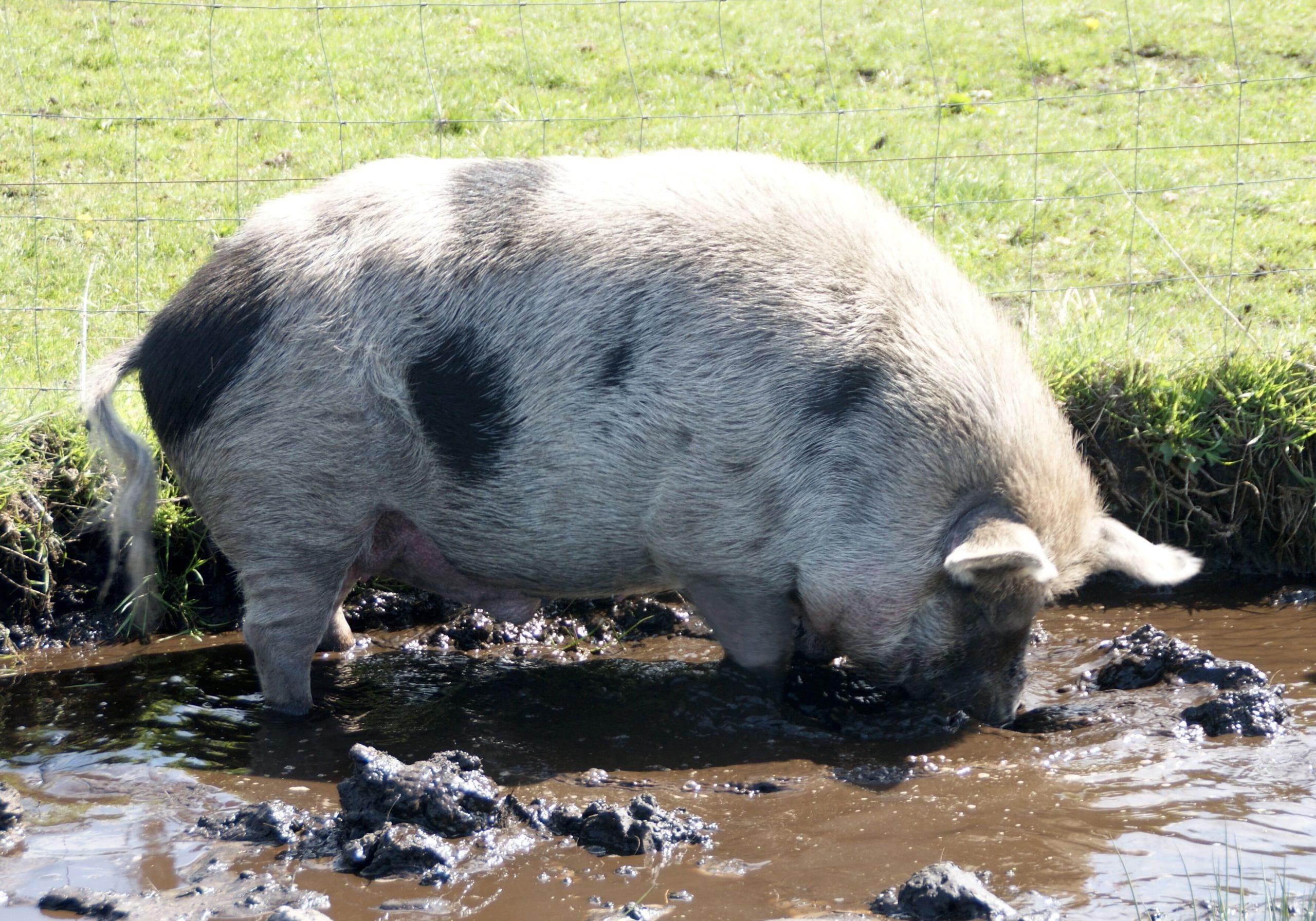 Minischweineber in Suhle