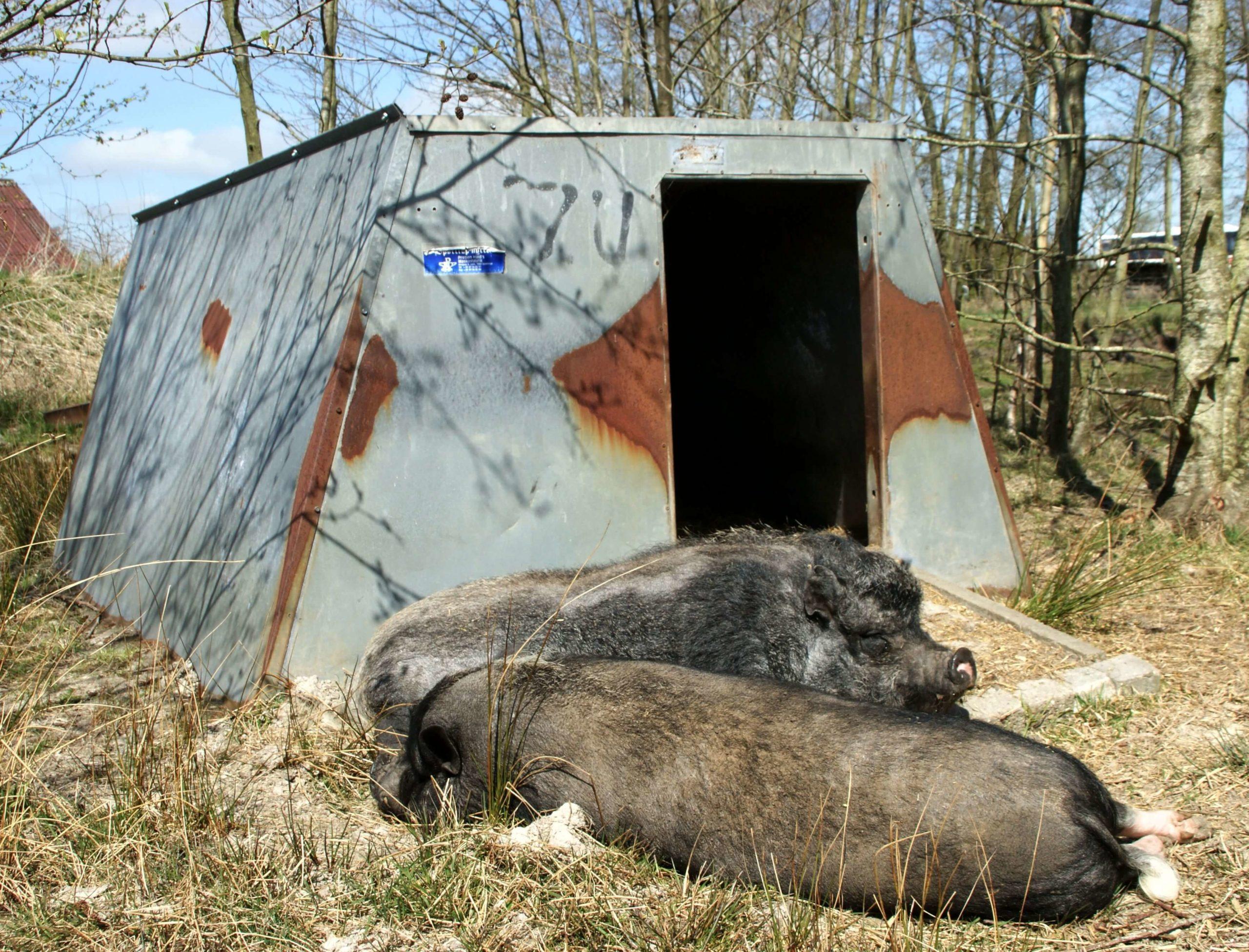 Zwei Minischweine vor der Freilandhütte