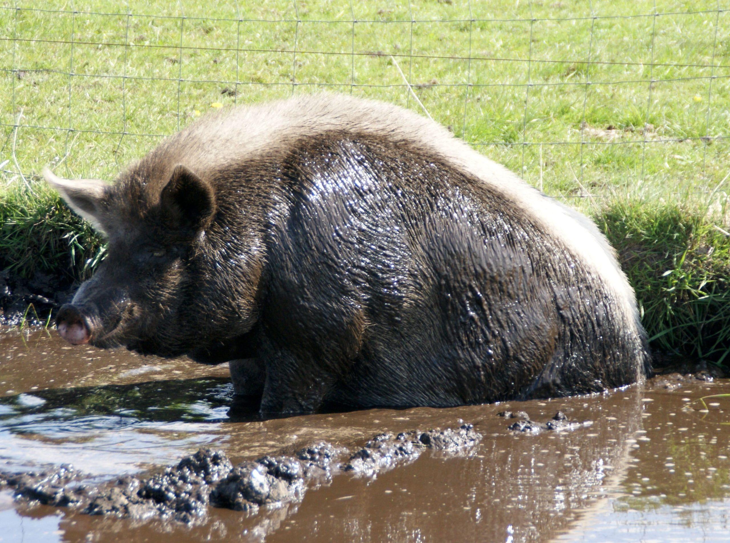 Minischwein nimmt Schlammbad