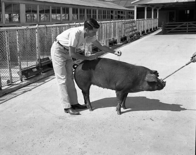 Tierarzt mit Schwein