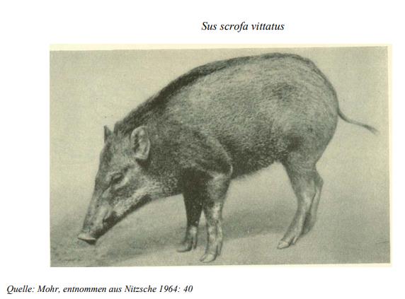 Bindenschwein