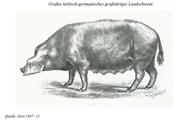 Germanisch-keltische Schwein