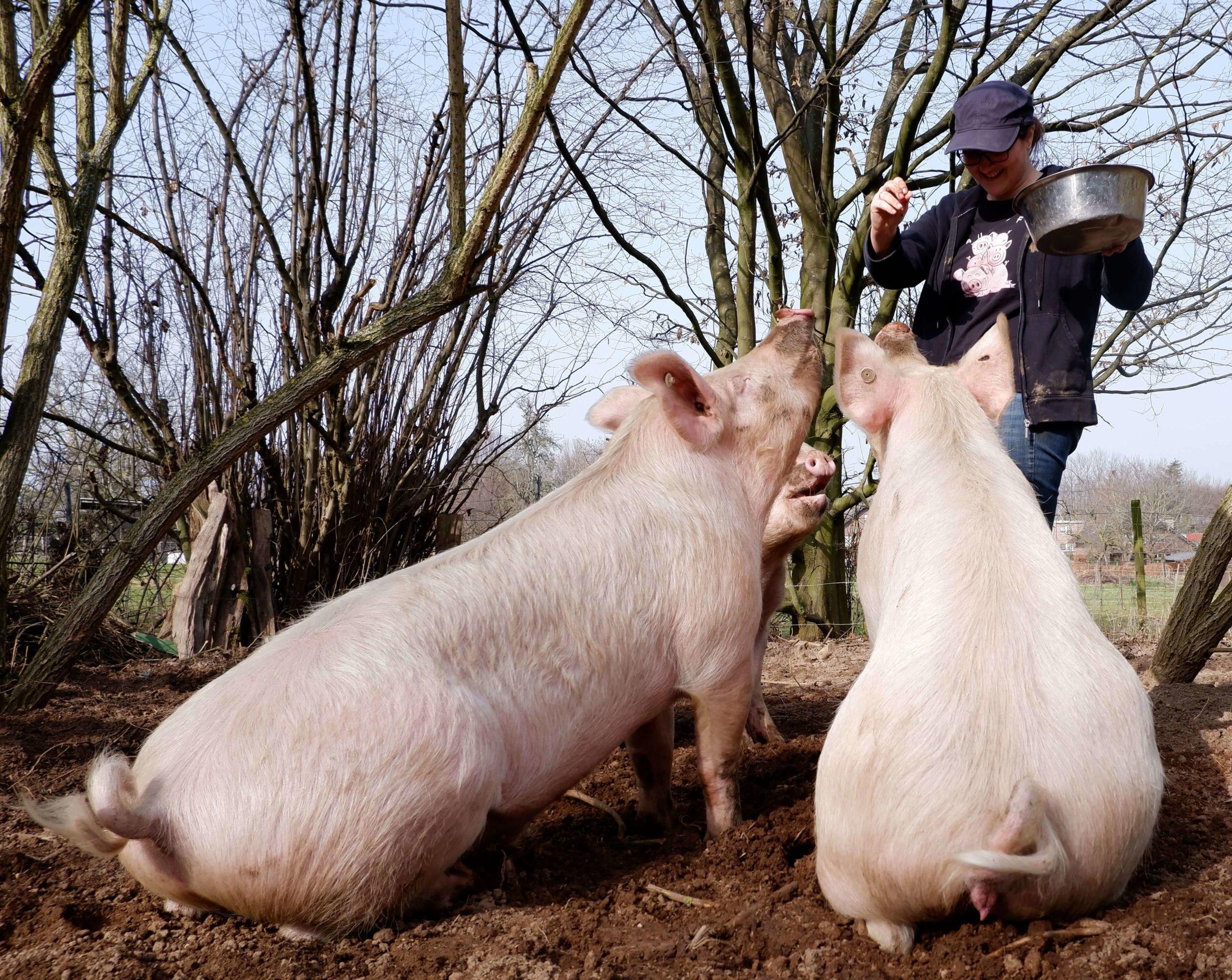 Schweine mit Vertretungspfleger