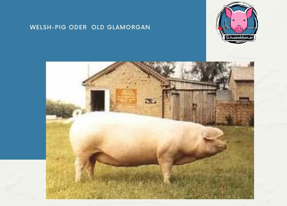Welsh Pig oder Old Glamorgan