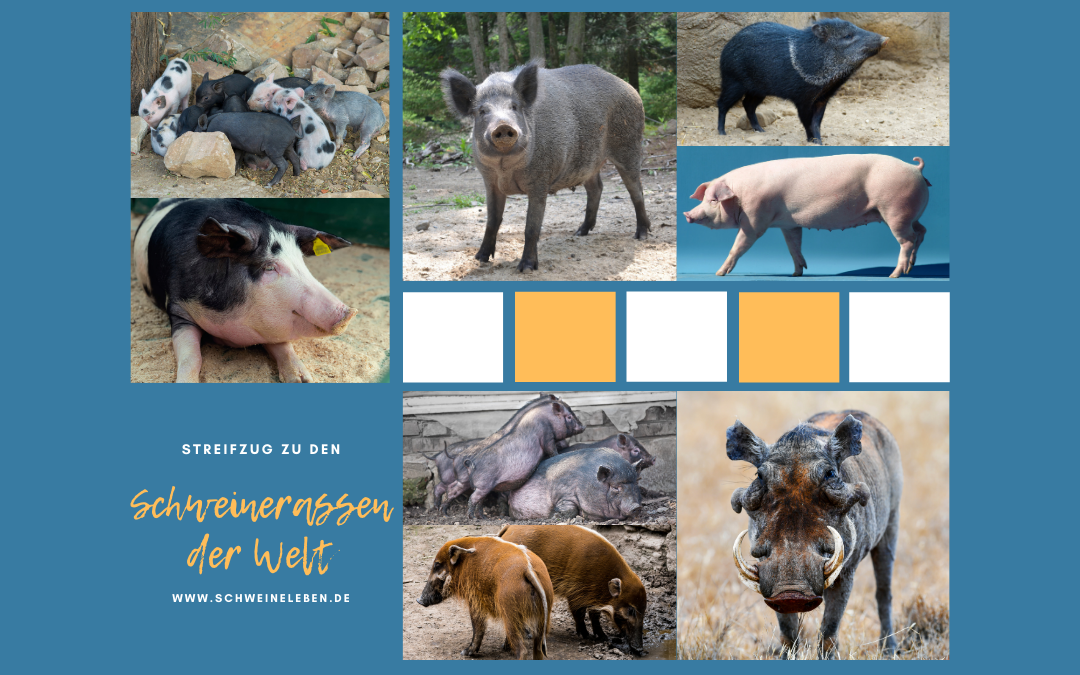 Schweinerassen der Welt – Entstehung der Schweinezucht Teil 2