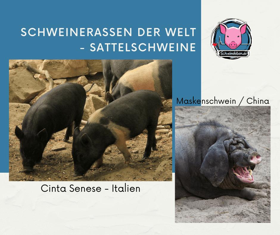 Schweinerassen - Maskenschwein und Cinta Senese