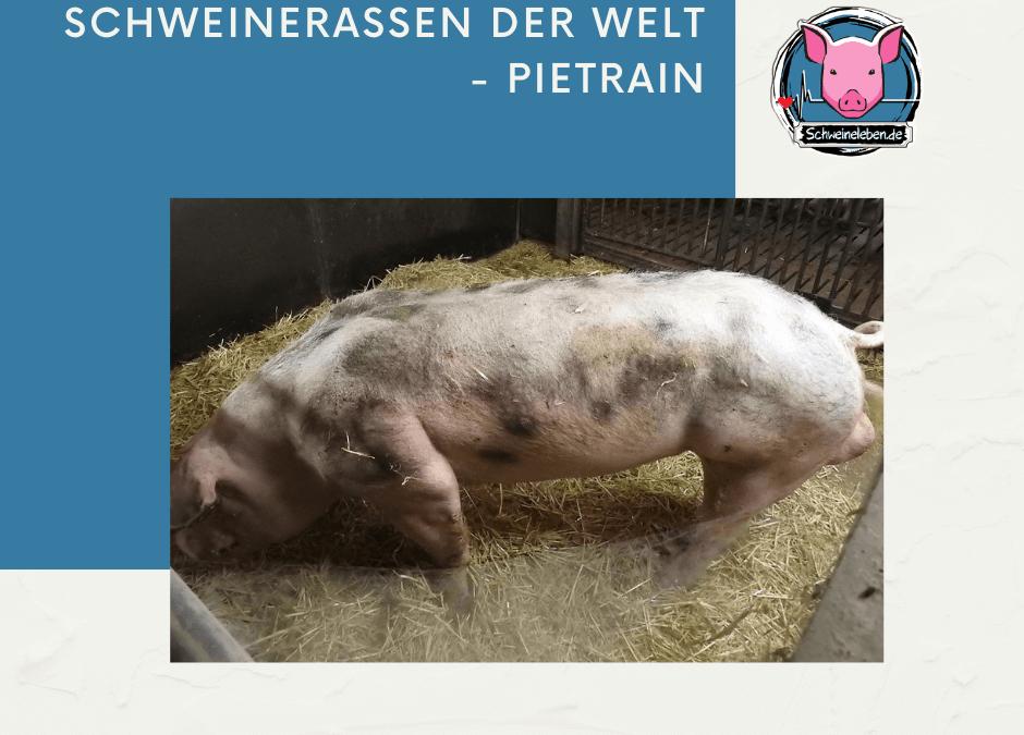 Schweinerassen der Welt – Pietrain