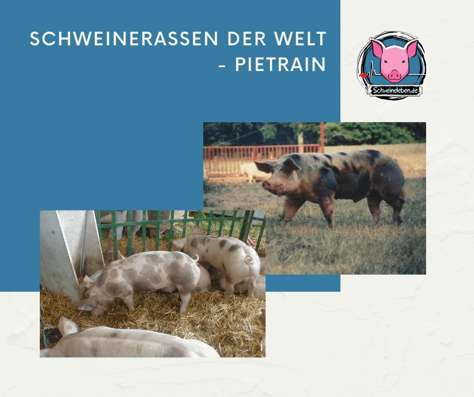 Schweinerassen der Welt - Pietrain