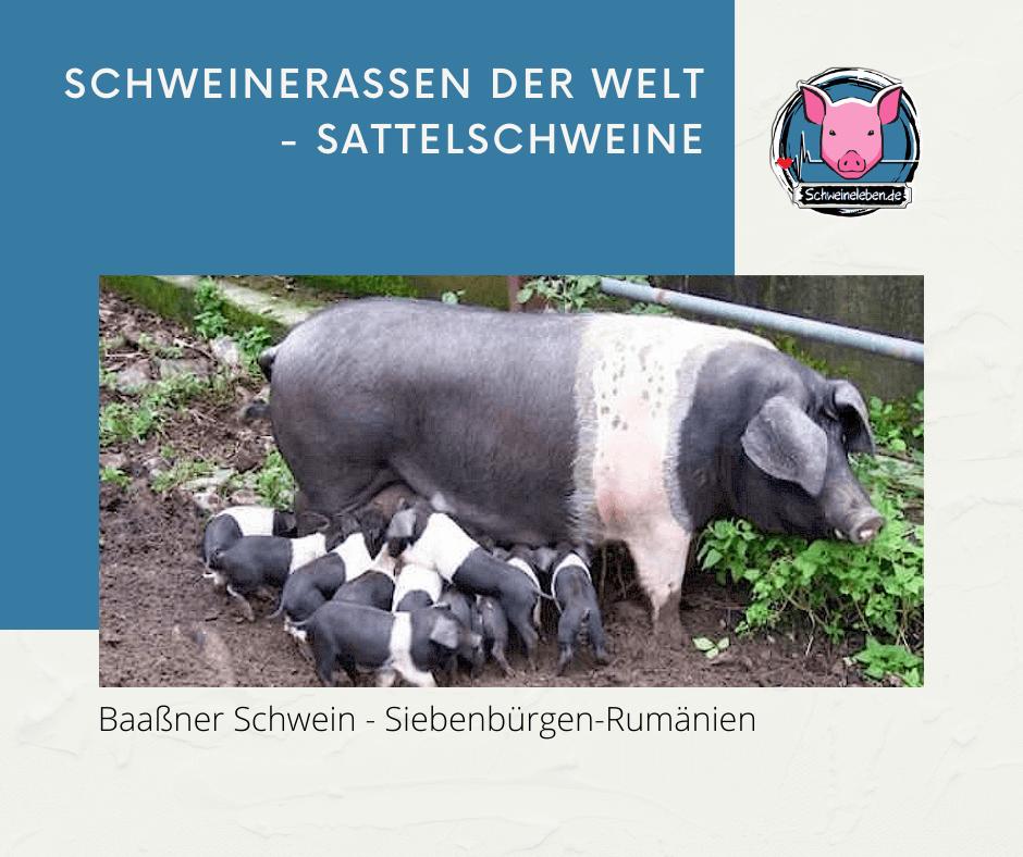 Baaßner Schwein