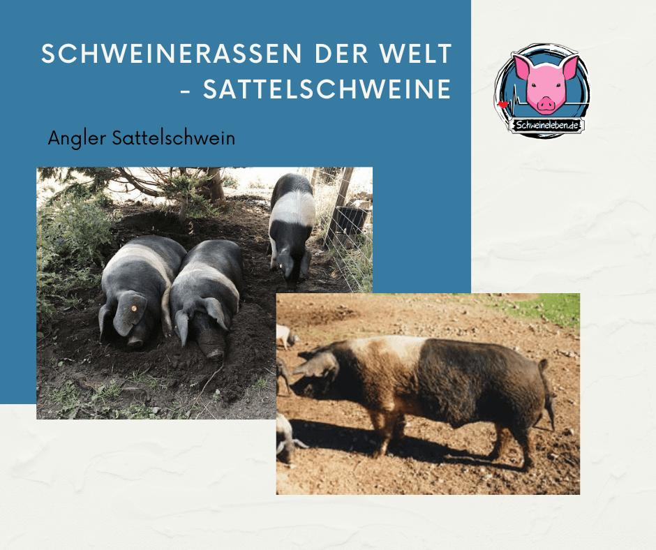 Angler Sattelschweine