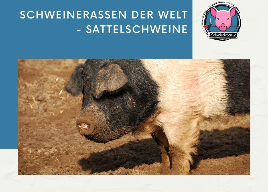 Schweinerassen der Welt – Sattelschweine Teil 1