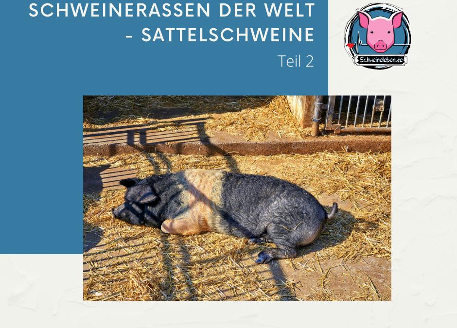 Schweinerassen der Welt - Sattelschweine Teil 2