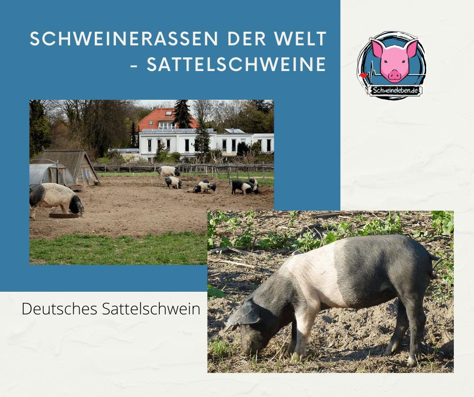 Deutsches Sattelschwein
