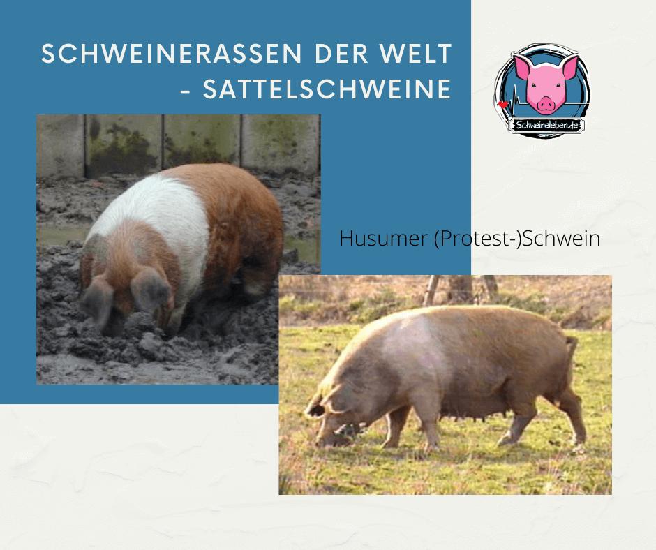 Husumer Protestschwein