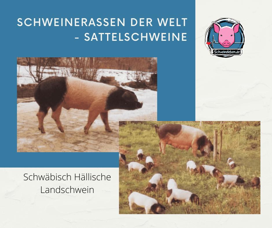Schwäbisch-Hällische Landschwein