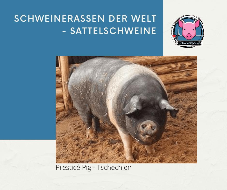 Presticé Schwein
