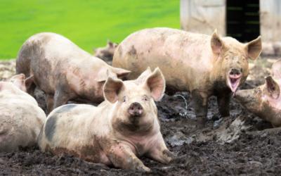 Schweinerassen der Welt – Yorkshire (Large, Middle and Small White)