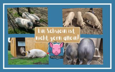 Ein Schwein ist nicht gern allein – die Geschlechterwahl