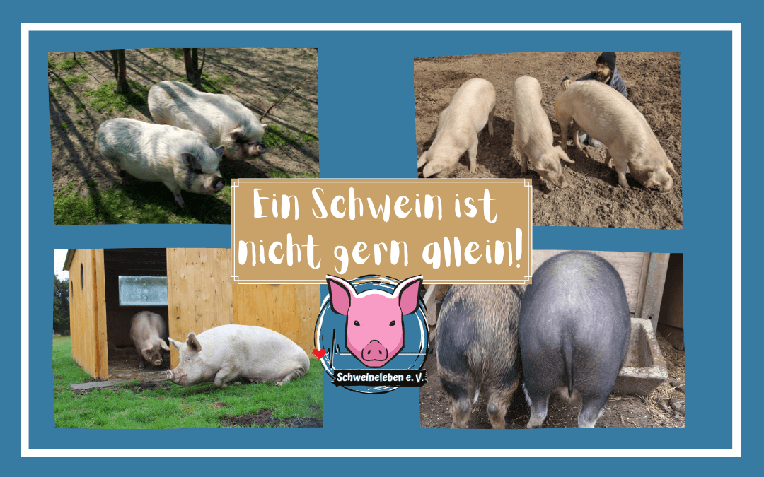 Ein Schwein ist nicht gern allein - die Geschlechterauswahl