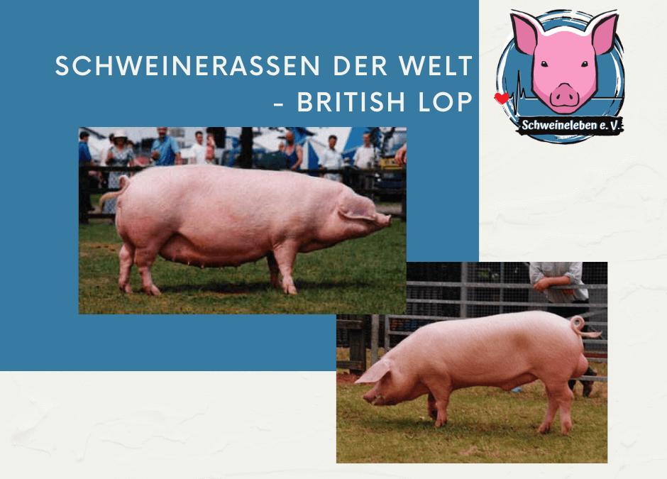 Schweinerassen der Welt – British Lop