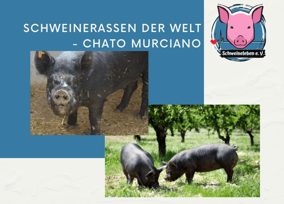 Schweinerassen der Welt – Chato Murciano