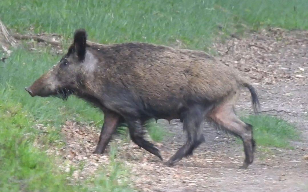 Wildschweine in den Niederlanden