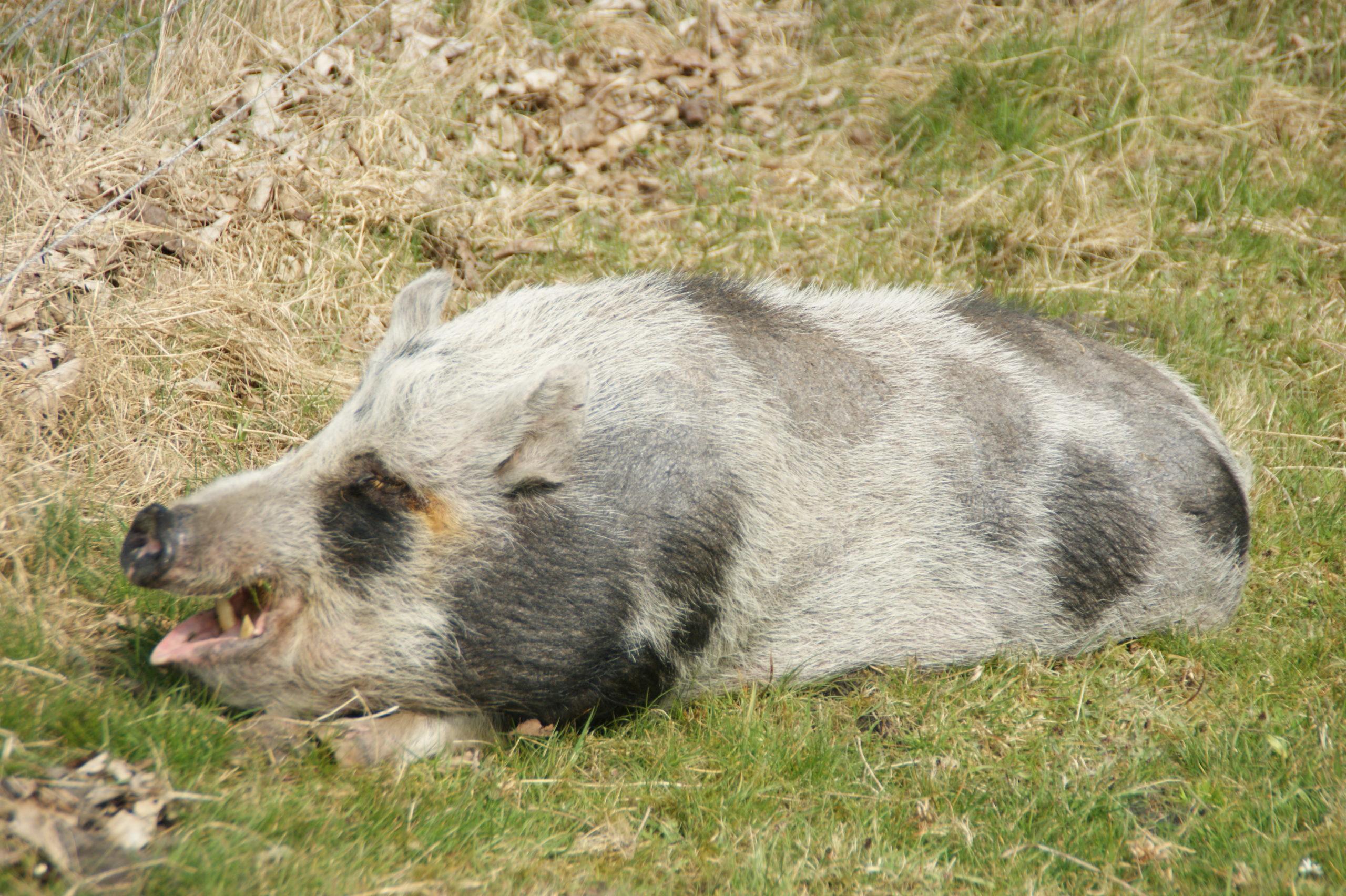 Schweineparadies Minischwein