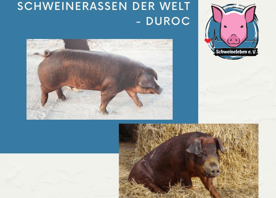 Schweinerassen der Welt – Duroc