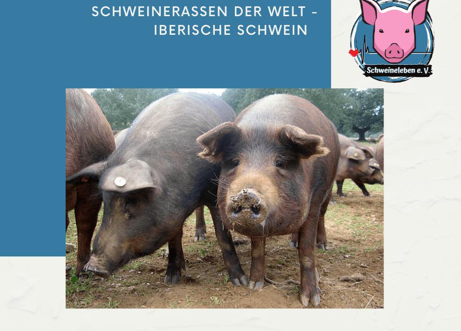 Schweinerassen der Welt – Das Iberische Schwein