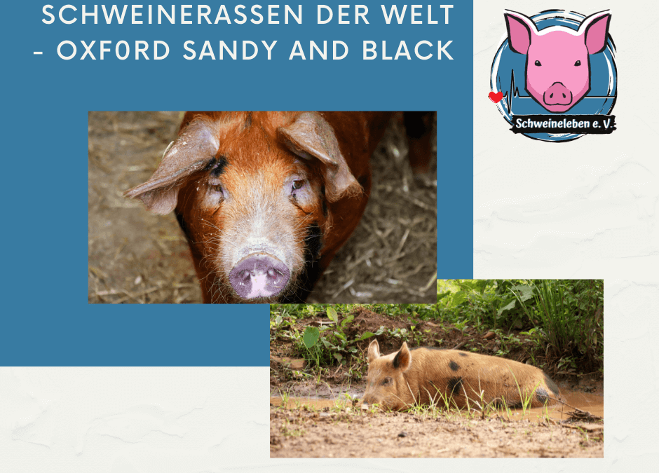 Schweinerassen der Welt – Oxford Sandy and Black