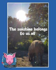Sunshine belongs to us - Schweine unter der Sonne