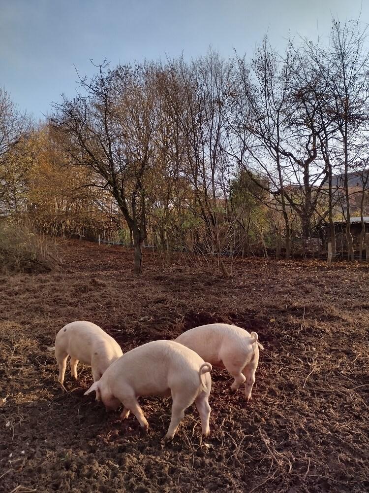 Unsere Schweine Freya, Loki und Gandhi