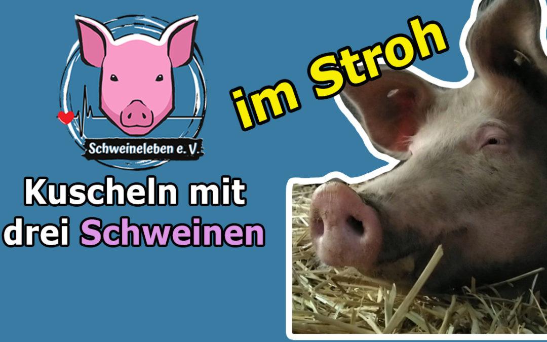 Kuscheln mit den Schweinen im Stroh