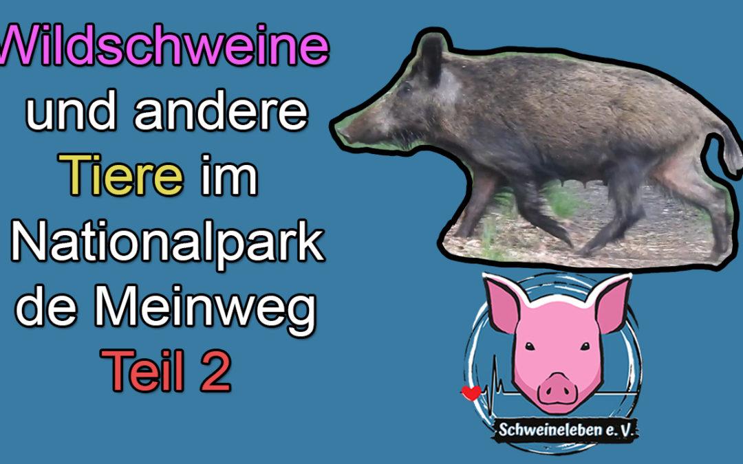 Wildschweine und andere Tiere im Nationalpark de Meinweg – Teil 2