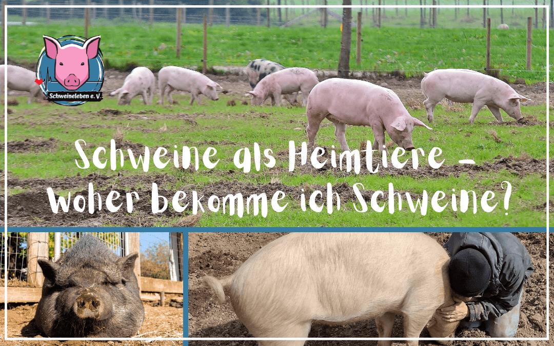 Schweine als Heimtiere – Woher nehmen, wenn nicht stehlen?