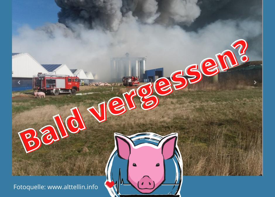 Die Schweine von Alt Tellin - bald vergessen?