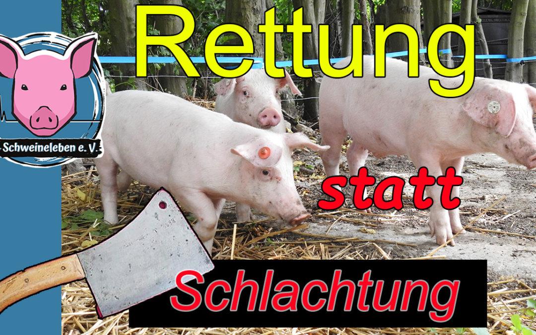 Schweinerettung – ein Video ein Jahr danach