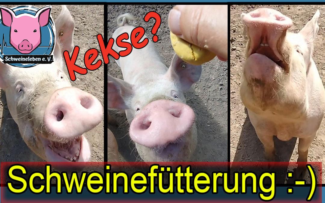 Drei Schweine am Nachmittag